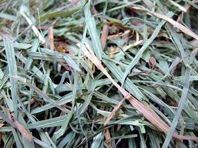 葉が多くやわらか目の牧草です。